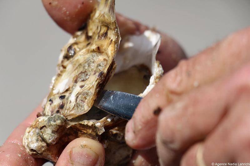 CDT17 huitre produit regional charente en croisiere bateaux nicols inter croisieres sireuil.jpg