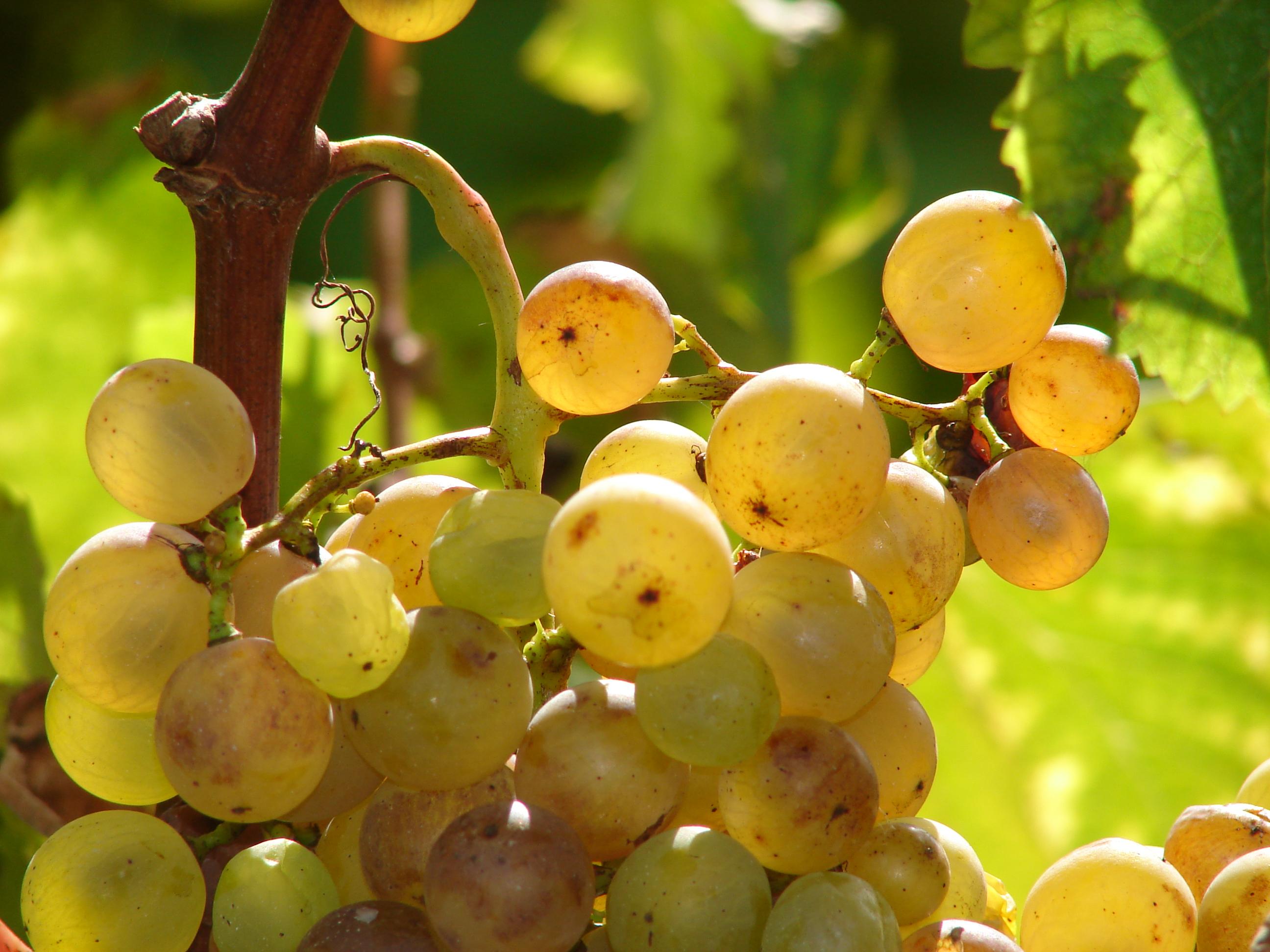 grappe de raisins charentais cognac en bateau charente inter croisieres sireuil nicols 7806 charentes tourisme.jpg